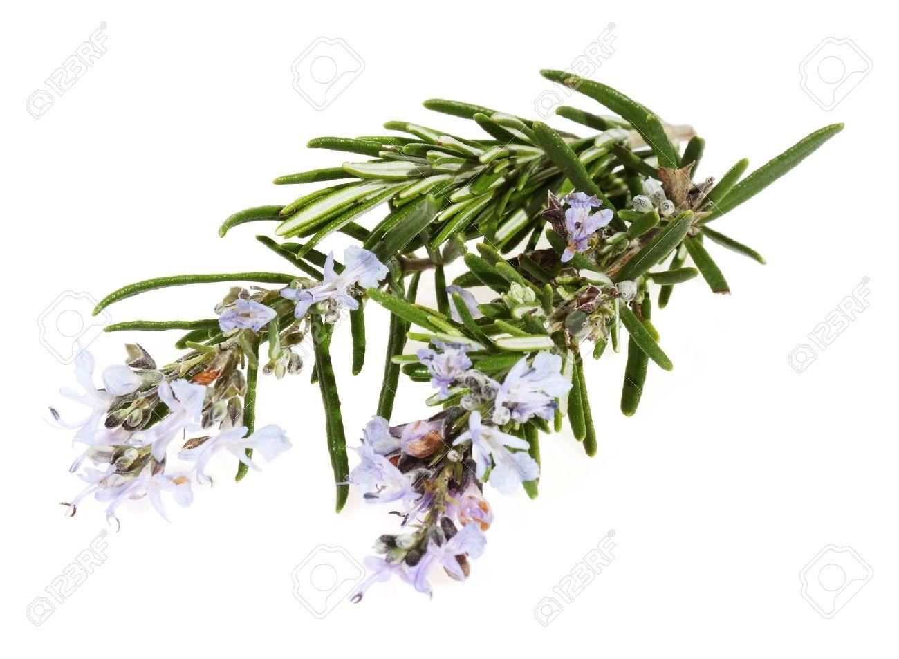 rosmarin-med-blommor